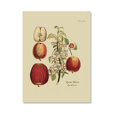 Tablou Canvas - Antique Apples, fig. 2