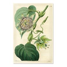 Tablou Canvas - Antique Passionflower I, fig. 2